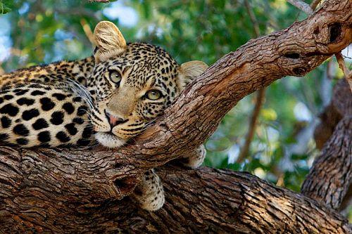 Leopard in a Tree Seen on Safari - Simbavati River Lodge