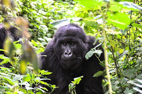 Gorilla Trekking in Uganda - Candice Heckel Africa Travel Agent
