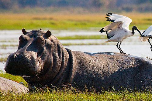 Birds Sitting on a Hippo in the Okavango Delta