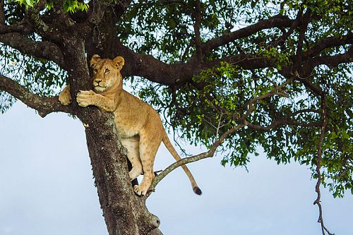 Classic Kenya Luxury Safari Package - Big 5 Wildlife Safari - Lion in Tree