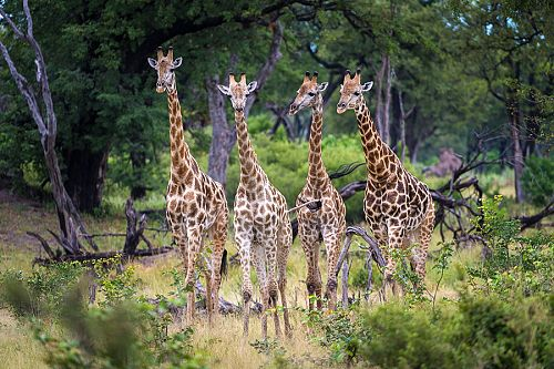 Giraffes spotted on safari at Kings Pool Camp, Linyanti Concession, Botswana