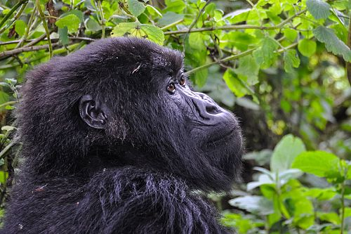 Wild Mountain Gorilla Trekking in Volcanoes National Park, Rwanda