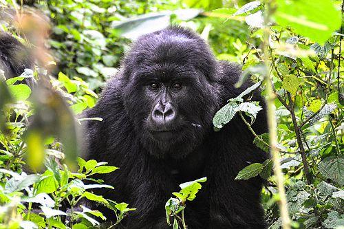 Wild Mountain Gorilla Trekking in Volcanoes National Park, Rwanda