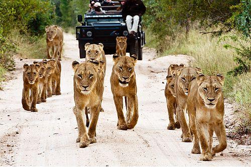 Kruger Safari - Lions at Sabi Sabi