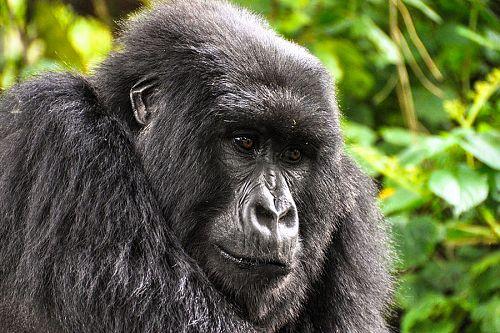 Uganda Gorilla Trekking, Gorilla Safari Tours