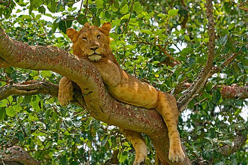 Tree Climbing Lions - Ishasha, Queen Elizabeth National Park - Ugandan Adventure: Gorilla Safari Tour