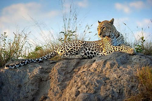 Kruger Safari Sabi Sands - Leopard at Simbambili Game Lodge