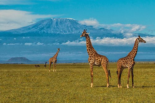 Flights to Africa from USA - Giraffes in Amboseli National Park - Ol Donyo Lodge