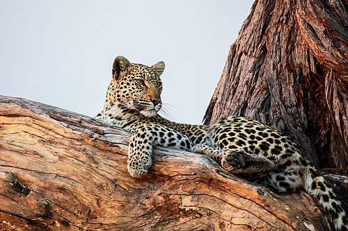 African Safari Photography Tips - Leopard in the Okavango Delta