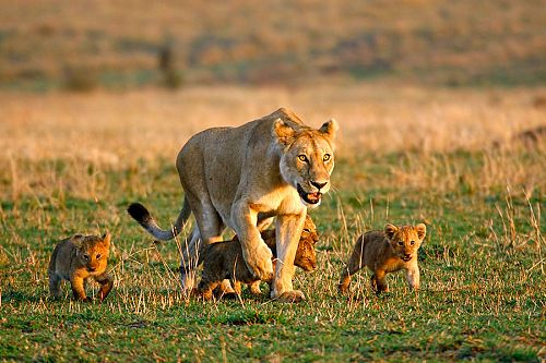 Lioness and Her Cubs in Hwange National Park