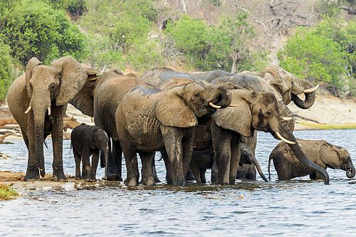 Elephants Drinking in the Chobe River Botswana