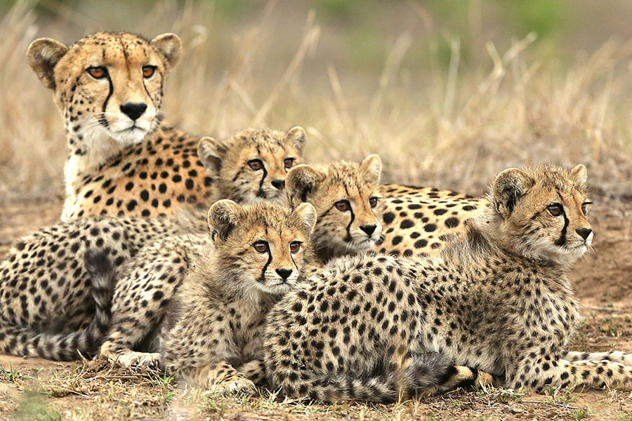 Cheetah and Cubs on &Beyond Phinda Private Game Reserve