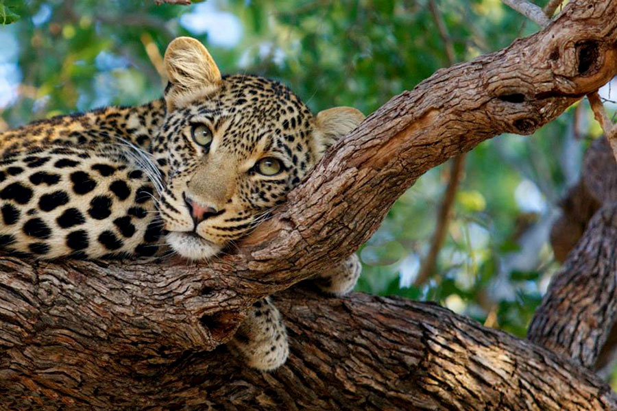 Leopard in a Tree Seen on Safari - Simbavati River Lodge