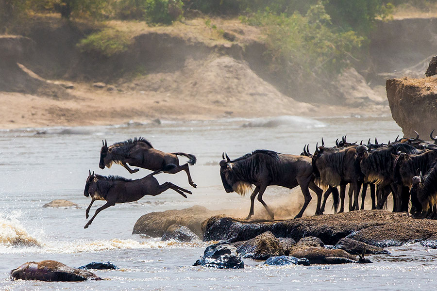 Wildebeest Crossing the Mara River - Great Migration Safaris