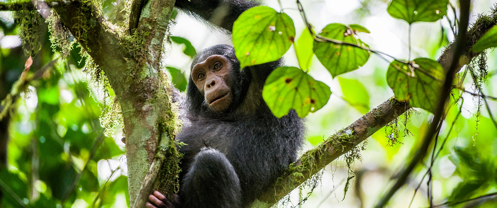 Tanzania Safari Getaway - Chimp Trekking Greystoke Mahale Tanzania