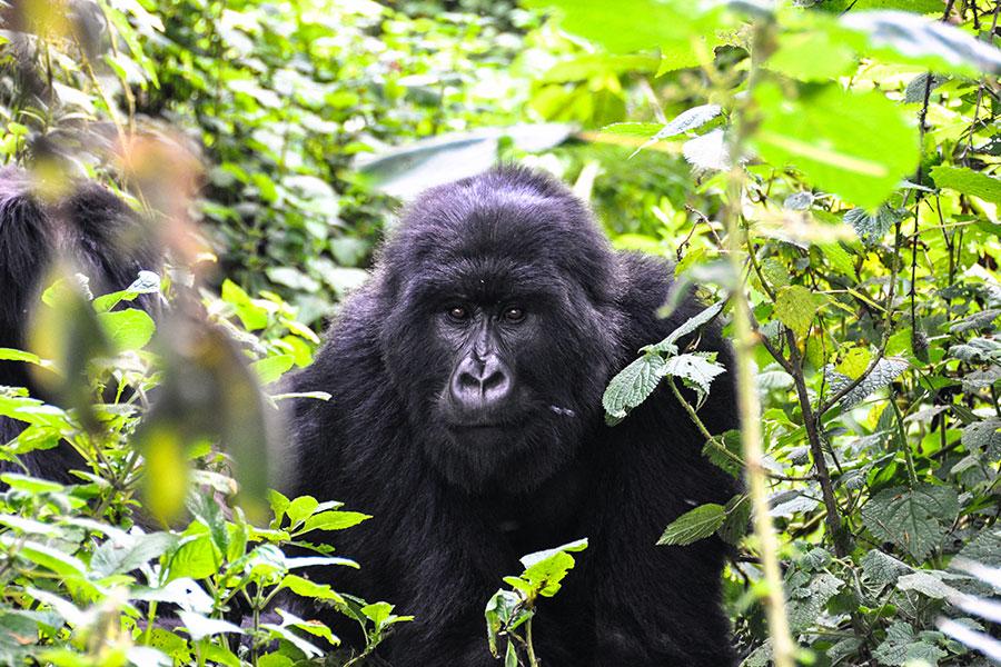 Rwanda - Gorilla Trekking - Vacation - Handcrafted