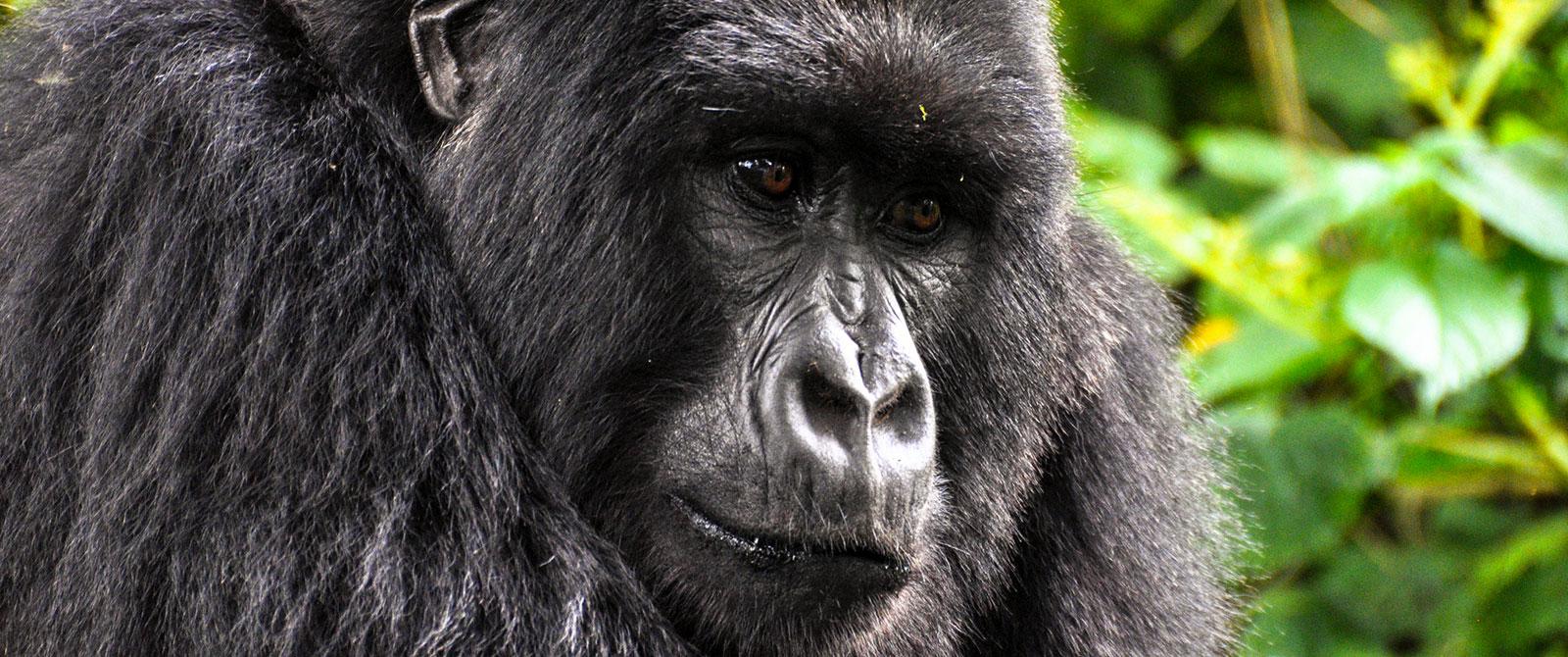 Gorilla Trekking, Wild Gorilla Safaris