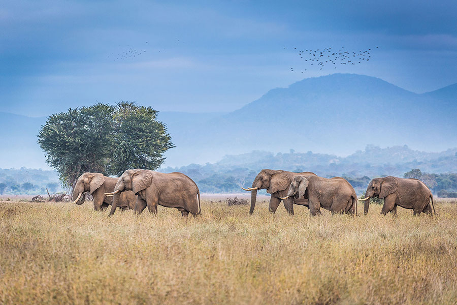 Elephants Roaming in the Lower Zambezi - Zambia Luxury Safari Travel Agency