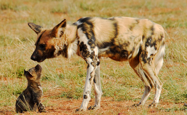 Wild dog and her pup - Tswalu Kalahari - Travel South Africa