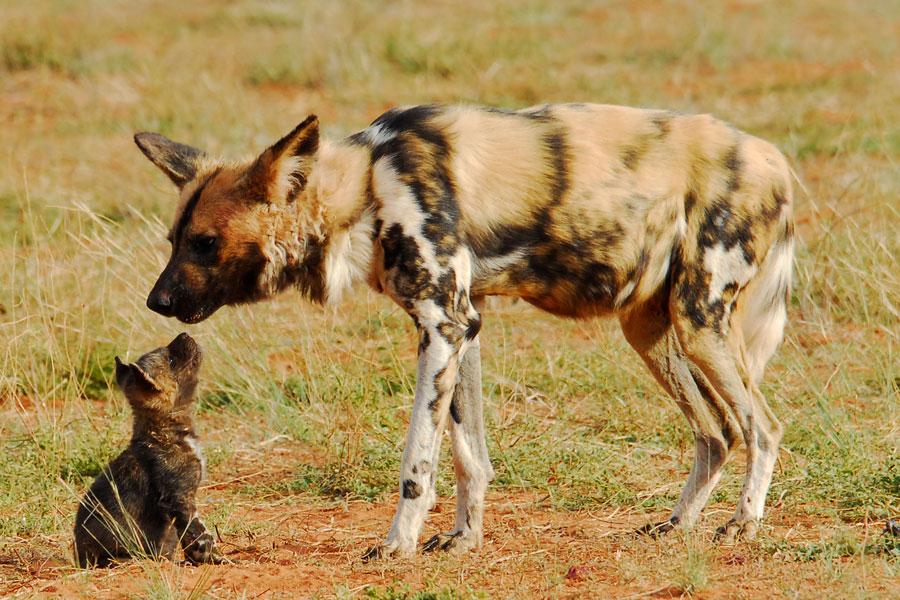 Wild dog and her pup - Tswalu Kalahari - Travel South Africa