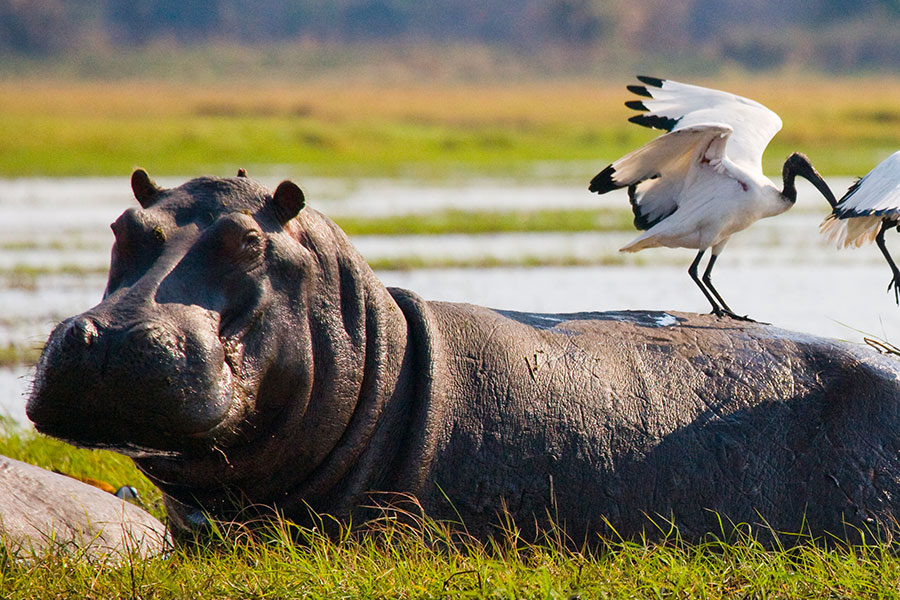Birds Sitting on a Hippo in the Okavango Delta