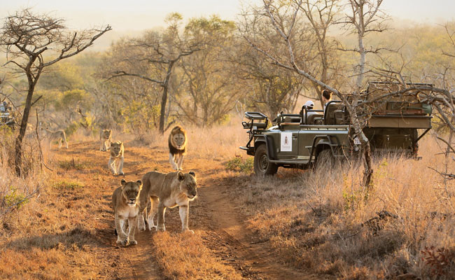 Lions next to a safari jeep - Thanda Safari - Travel South Africa