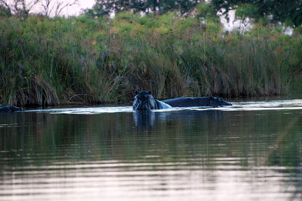 African wildlife safari - Chobe River safari