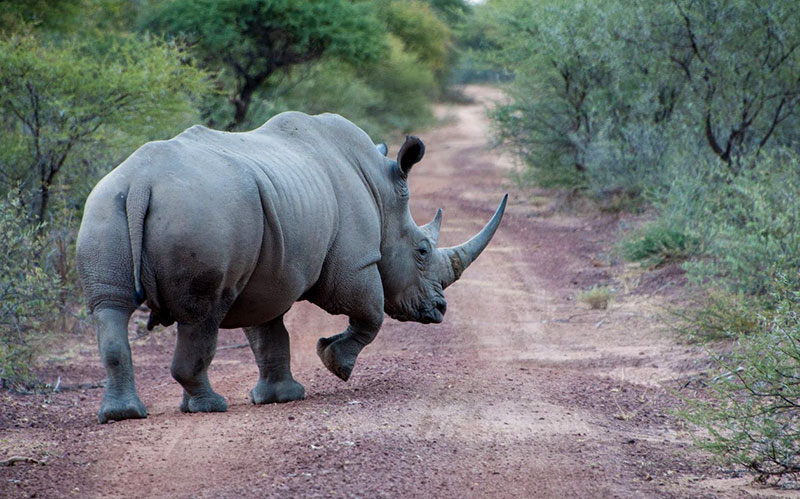 Rhino in South Africa - Big 5 African Wildlife