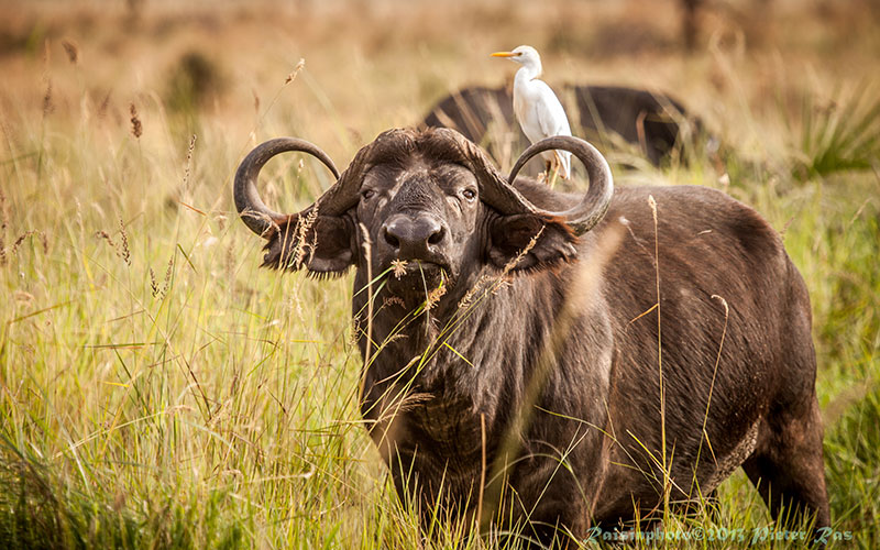 Buffalo in Kenya - African Wildlife - Big 5