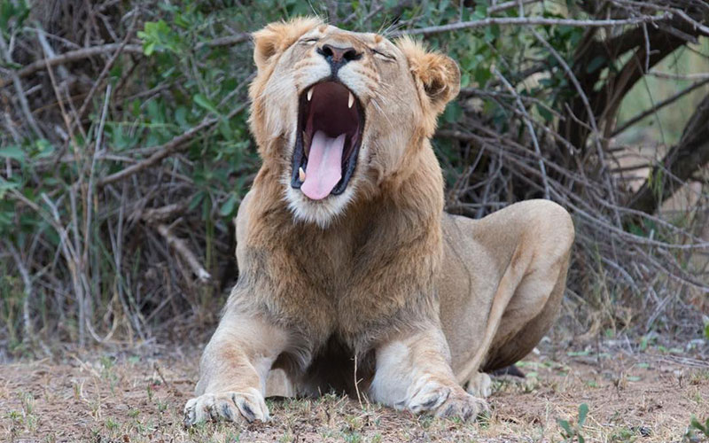Lion in South Africa - Africa's Big 5 - Wildlife Safari