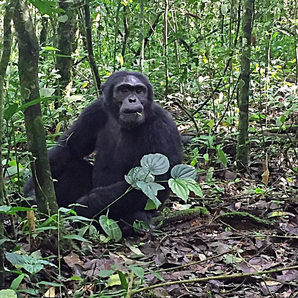 ness-chimp-trekking-kibale-forest-national-park-chimp