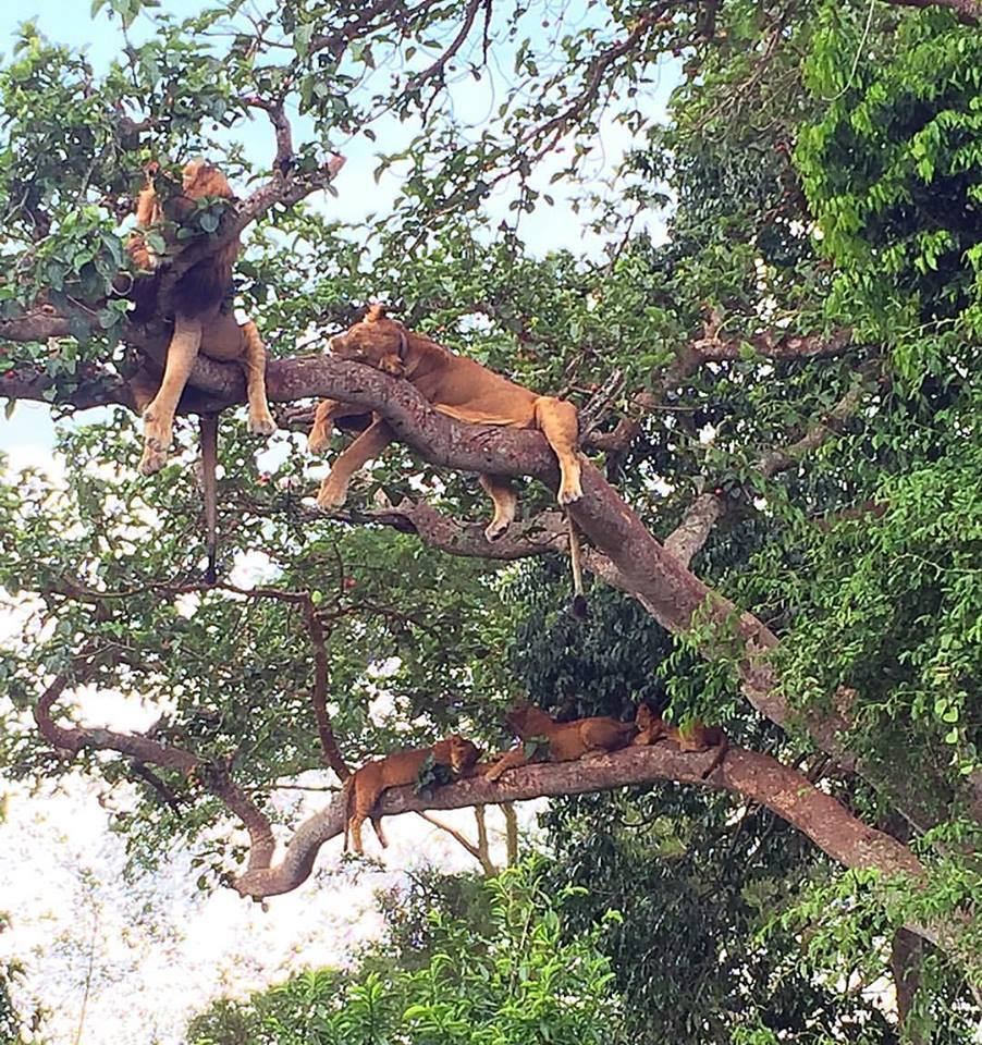 ness-uganda-tree-climbing-lions-ishasha-region-qenp