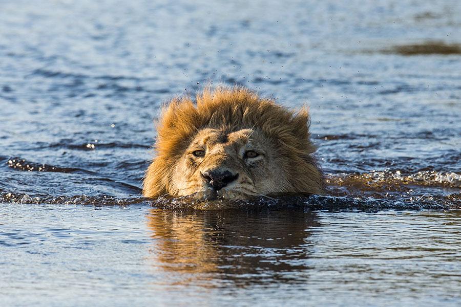 Lion Swimming Through the Okavango Delta in Botswana