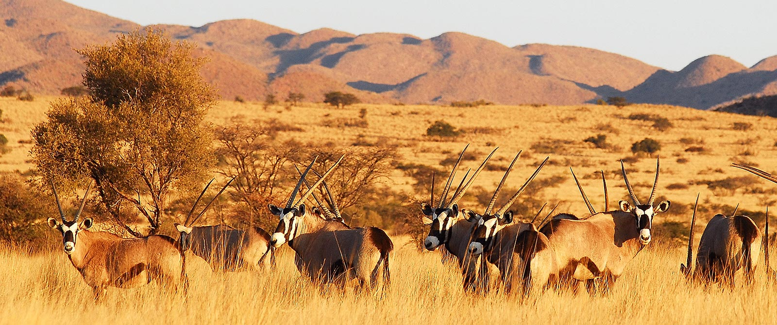 Herd of Oryx in Tswalu Kalahari Game Reserve