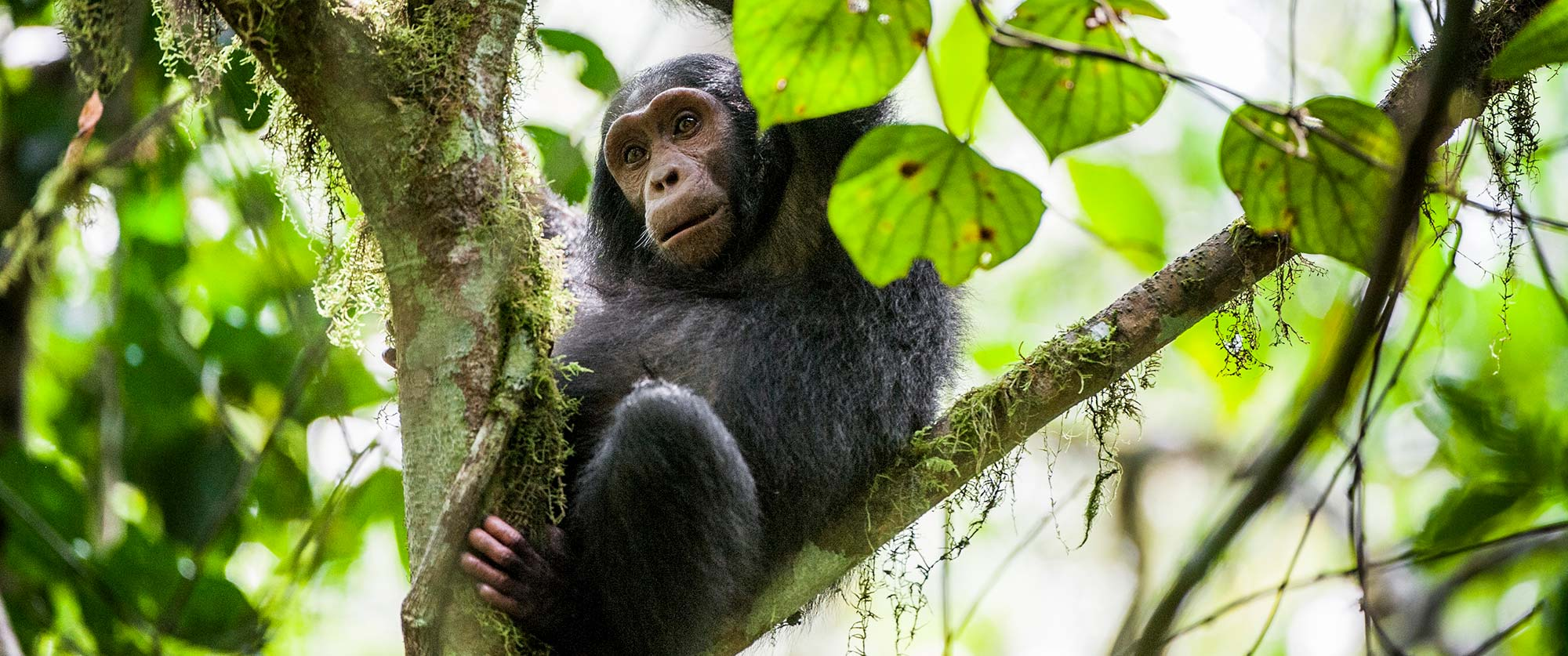 Chimpanzee Trekking in Kibale National Park - Uganda Wildlife Safari