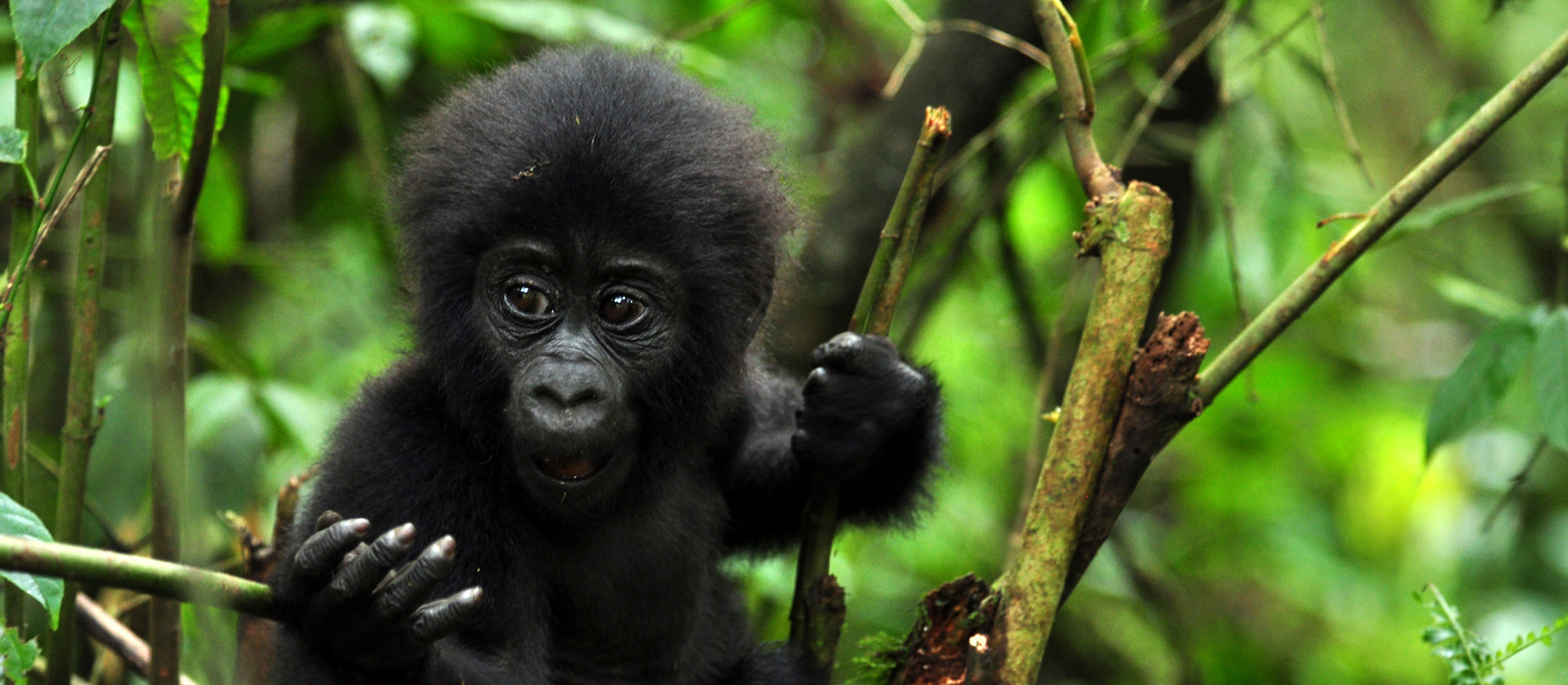 Gorilla Trekking Uganda: Rainforest Adventure