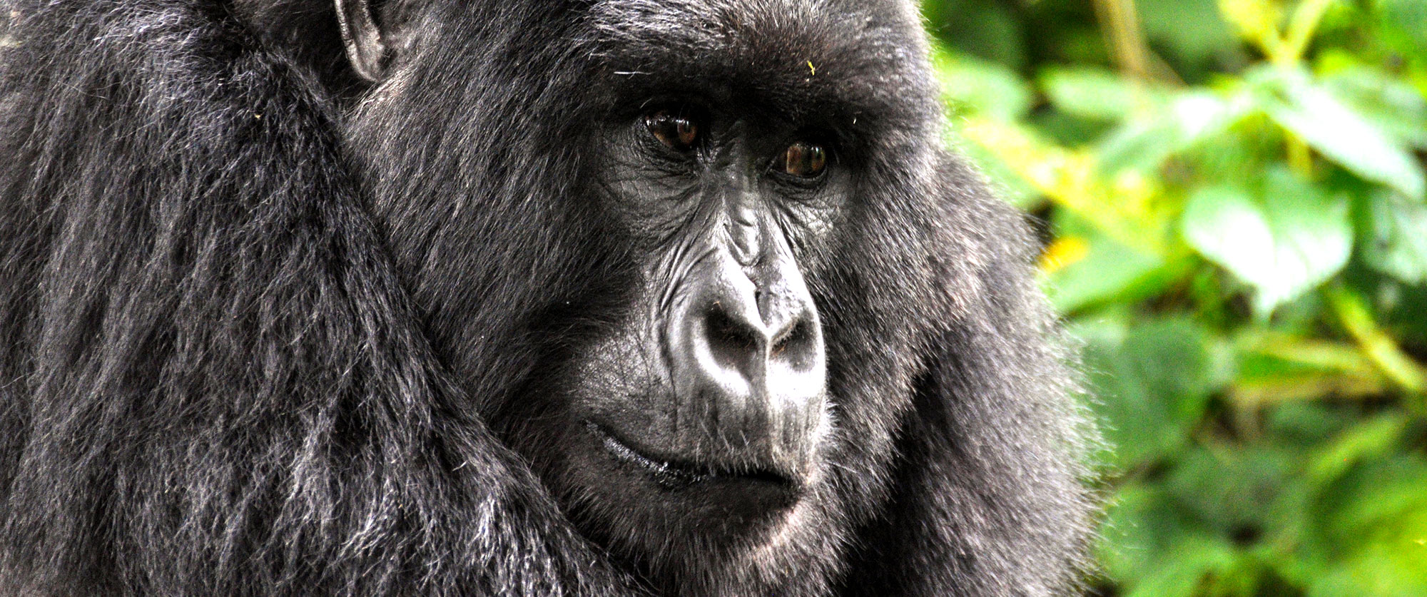 Ultimate Ugandan Wildlife Safari - Gorilla Trekking