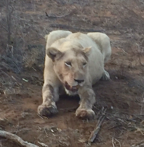 female-white-lion
