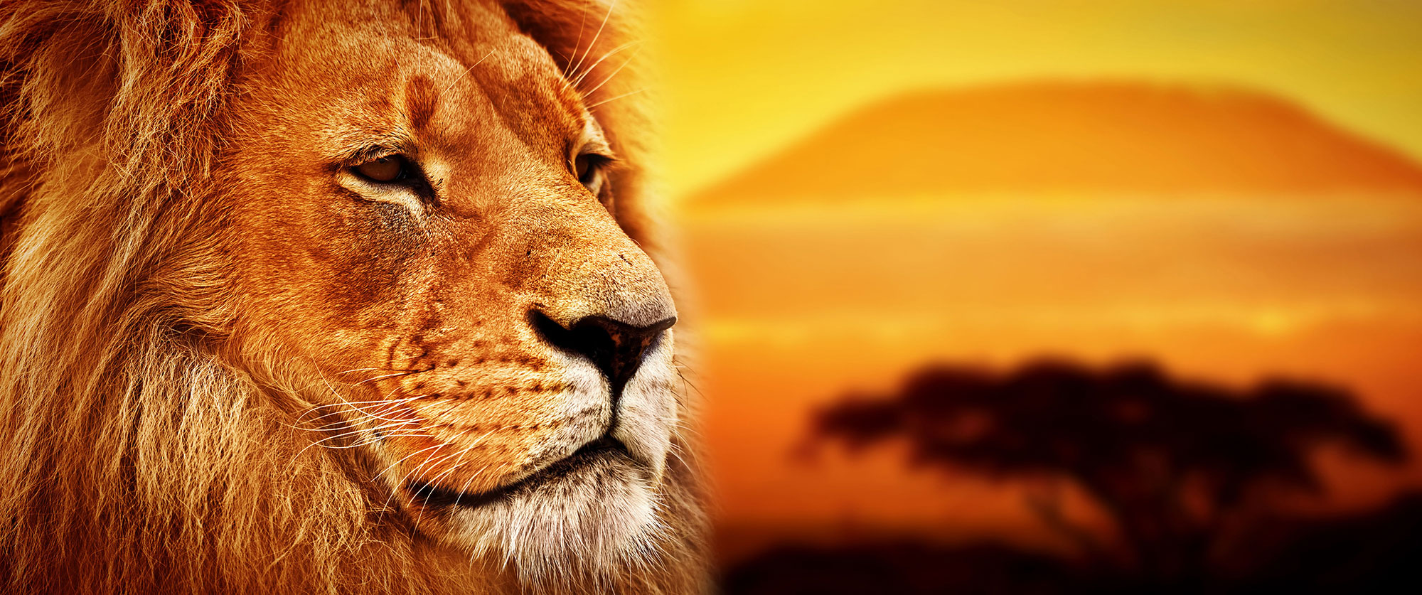 Custom Africa safari packages - Lion in front of Mt Kilimanjaro