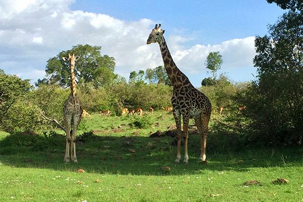 African Wildlife Safari - Wildlife of Kenya - Masai Giraffe