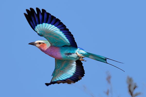 African Wildlife Safari - Wildlife of Kenya - Lilac Breasted Roller
