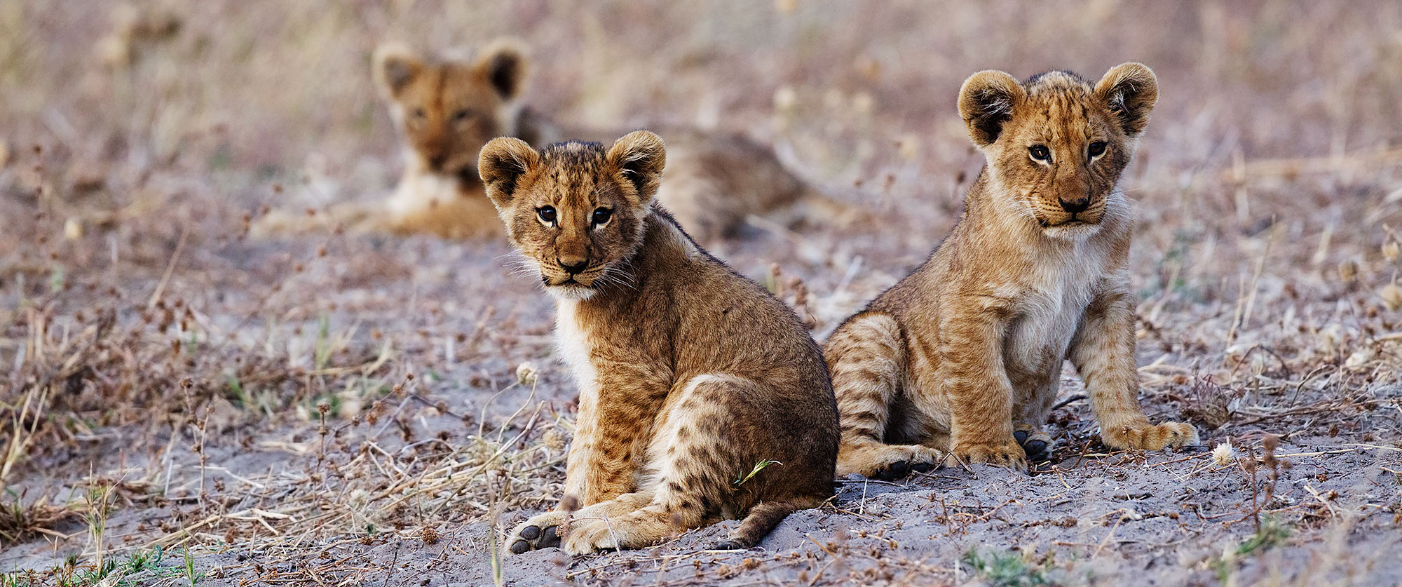 Bucket List Botswana Safari: Chobe and Okavango Delta - Lion Cubs in Savute Region of Chobe National Park