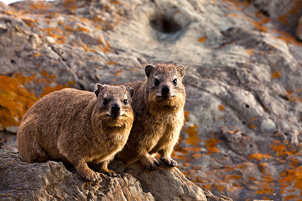 African Wildlife Safari - Wildlife of Kenya - Rock Hyrax