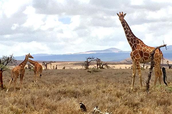 Trip to Africa - Kenya Wildlife Safari - Giraffes