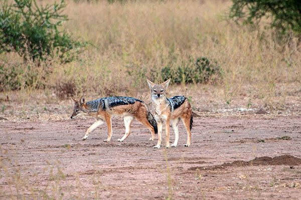 African Wildlife Safari - Wildlife of Kenya - Black Backed Jackal