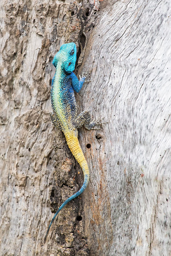 African Wildlife Safari - Wildlife of Kenya - Blue Headed Agama