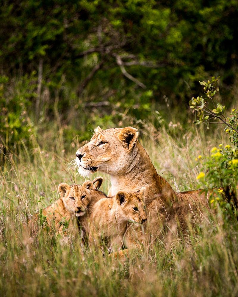 Kenya Safari Vacation - Lions on a Big 5 Safari