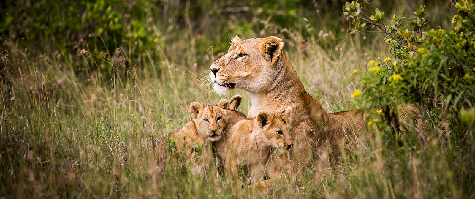 Lions in Kenya - Best Kenya Vacation and Safari Packages