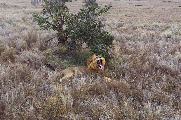 Trip to Africa - Kenya Wildlife Safari - Lion Yawning