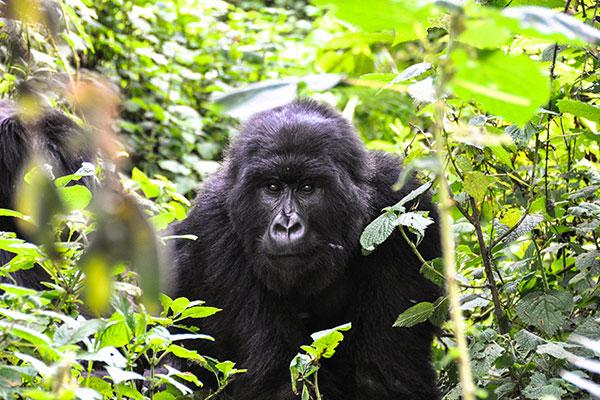 Rwanda Private Gorilla Trekking Tours
